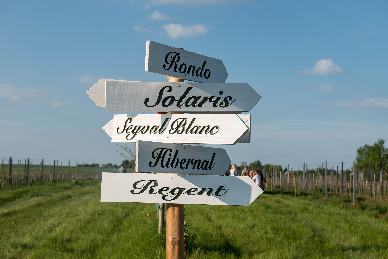 odmiany winogron, szlak turystyczny za winem w winnicy, Polska winnica