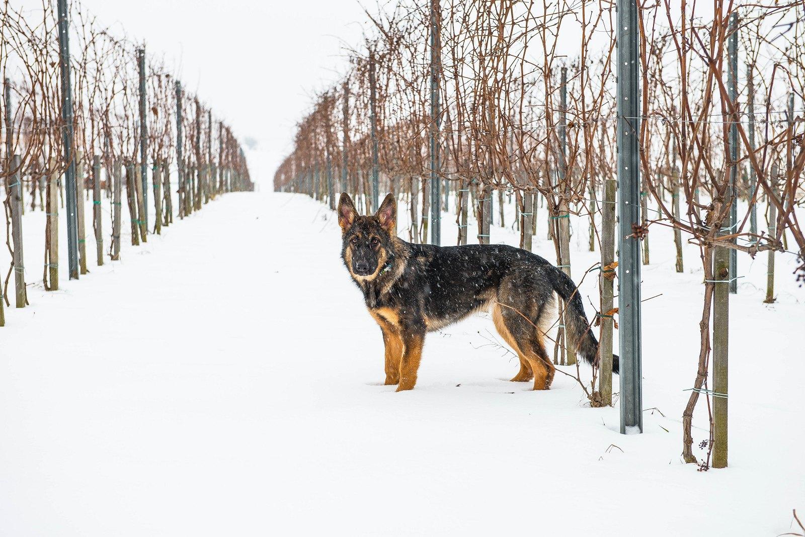 winnica, zima, winter, dog, owczarek, polskawinnica, polskie, wino, uprawa, winorośl