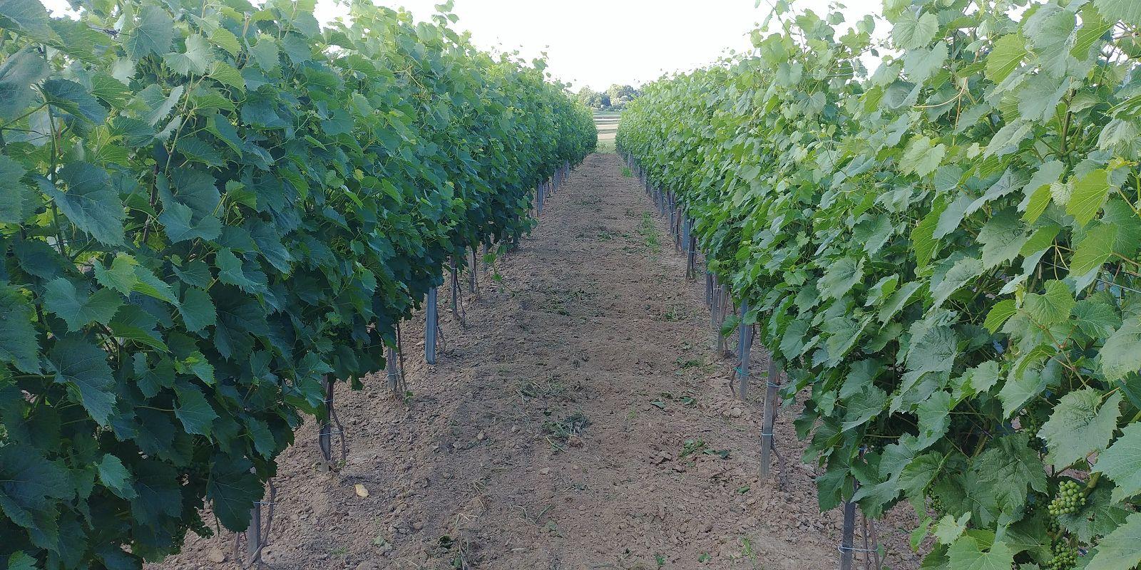 wino, winnica, uprawa, polshwine, polishwinery, czerwonewino, polskiewino, polskie, wino, wine, polishwine