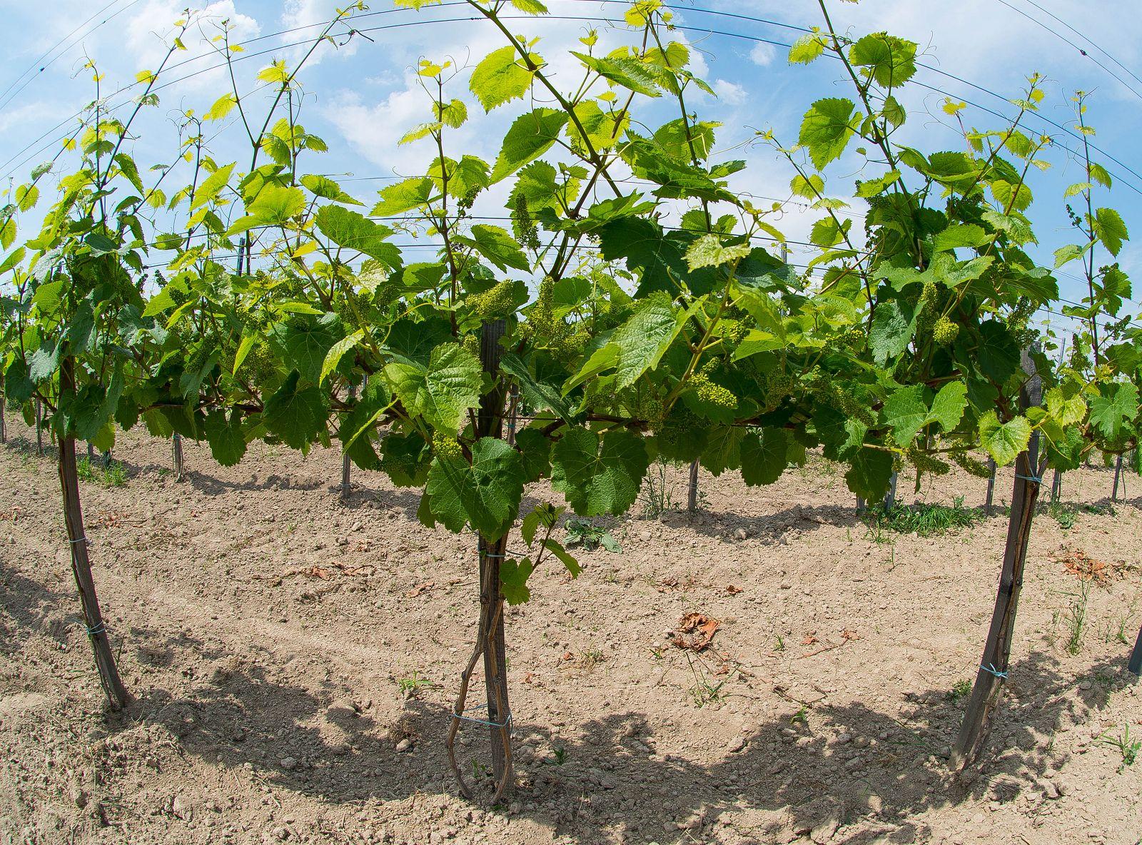 krzewy, winne, winna, latorośl, winogrady, uprawa, winnica, stranna