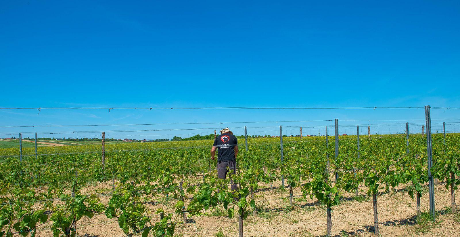 plener, praca, winnica, krajobraz, wino, winiarz, praca