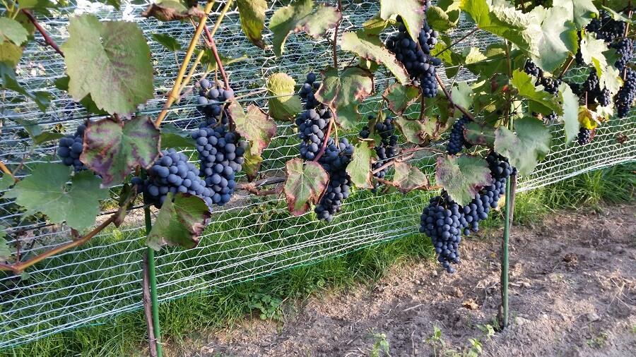 winogrona, czerwone, winnica, zagardle, kraków, uprawa, pielęgnacja, winorośl