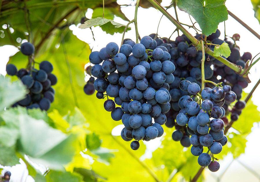 polskie, winogrona, wino, czerwone, białe, musujące, cydr