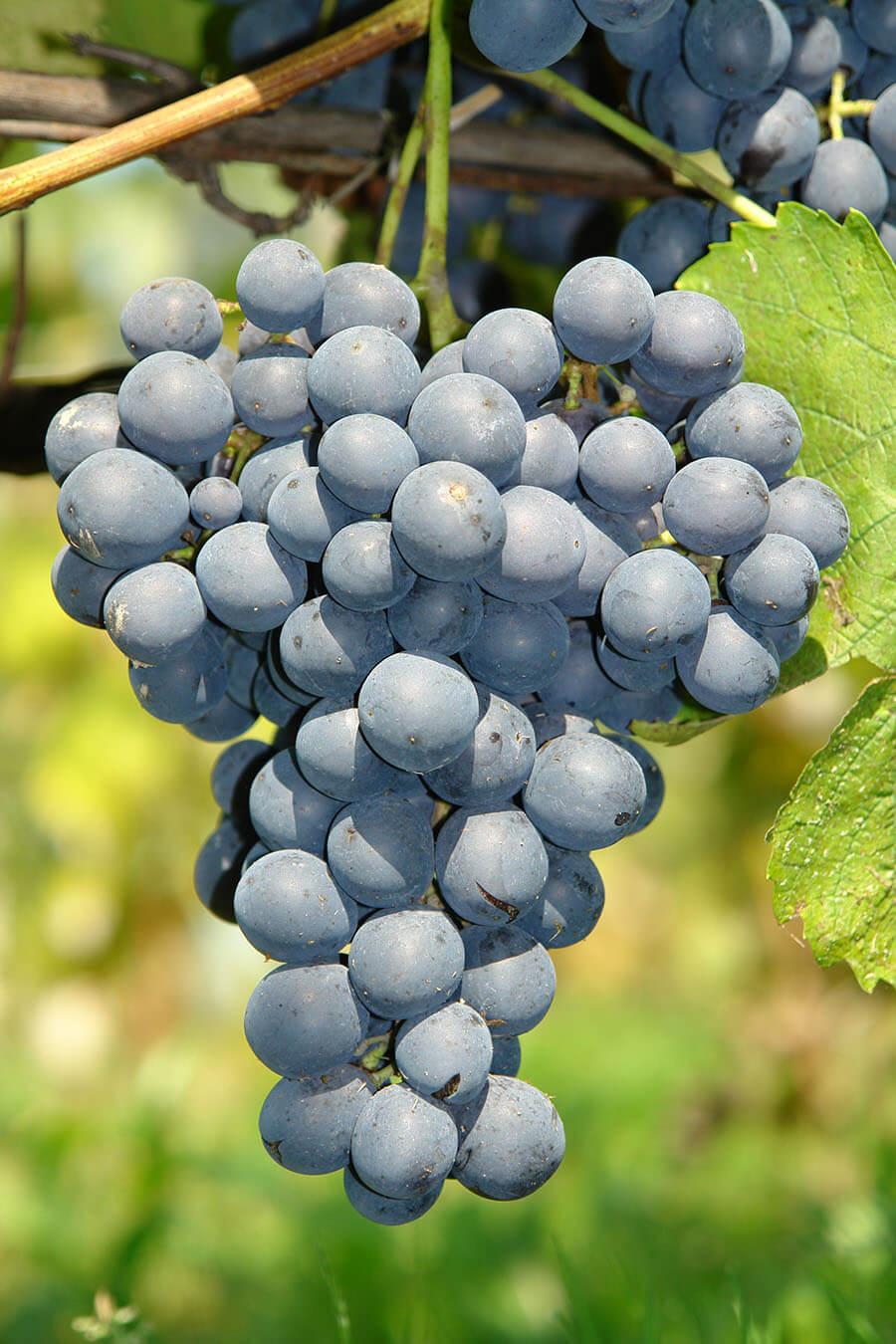 szkółkarstwo, sadzonki, szczepki, odmiany, winorośl, biała, czerwona, deserowa, bezpestkowa