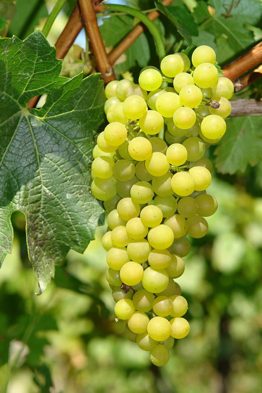 biała, winorośl, białe winogrona, szkółka, sprzedaż, uprawa, ogród, czerwone, wino, winorośl