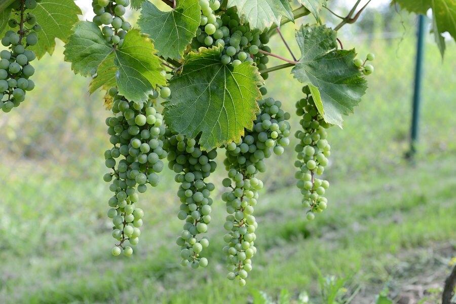 rondo, regent, winorośl, winogrona, leonmillot, cabernet, czerwone, wino, marechalfoch