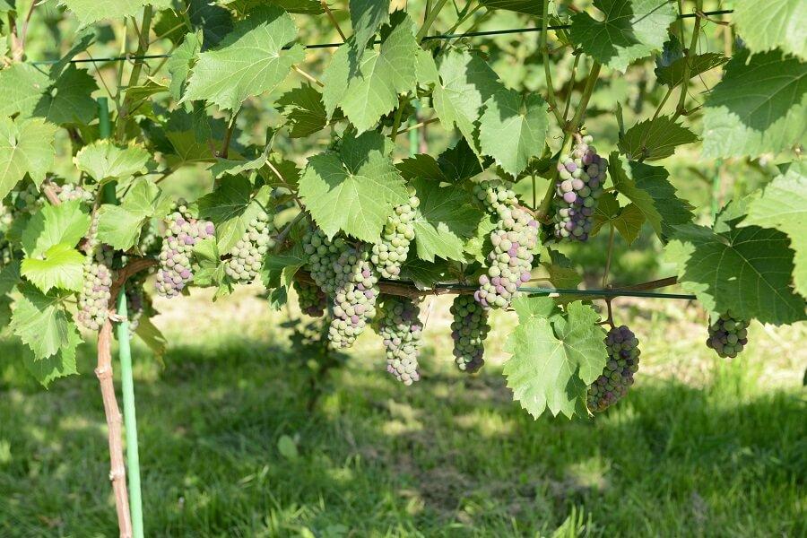 szkoła, sadzonki, winogrona, winorośl, winogrady, wino, słodkie, półsłodkie, wytrawne